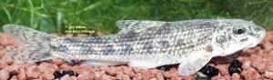 benacensis